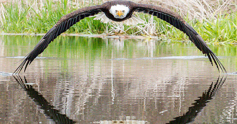 Amateur Photographer's Perfect Bald Eagle Reflection Photo Goes Viral
