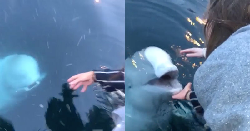 Beluga Whale Saves iPhone From Sea in Norway