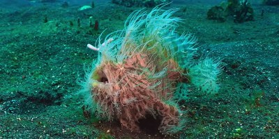 At 1/6000th of a Second, the Hairy Frogfish Has the World's Fastest Bite