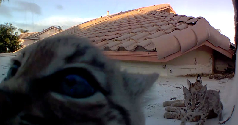 Every Year Bobcats Give Birth to Kittens on His Roof, This Year He Set Up a Camera