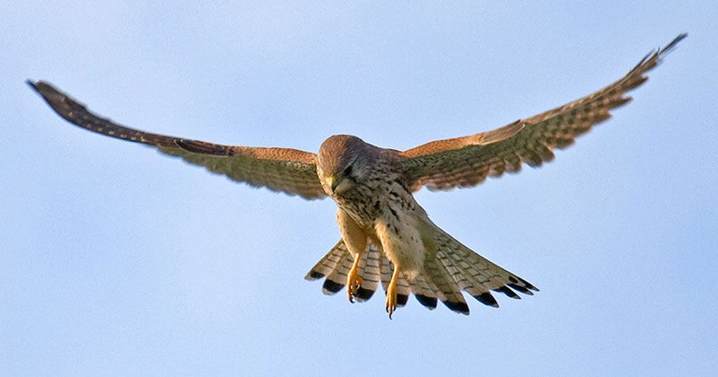 Check Out the Incredible Head Stabilization of this Male Kestrel