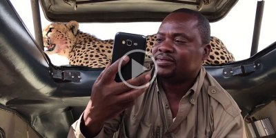 Safari Guide is Way Too Chill About a Cheetah on the Roof