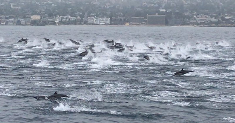 Please Take a Moment and Cherish this Huge Pod of Dolphins SwimmingFree