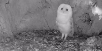 Baby Barn Owl Hearing Thunder for the First Time Will Give You All the Feels