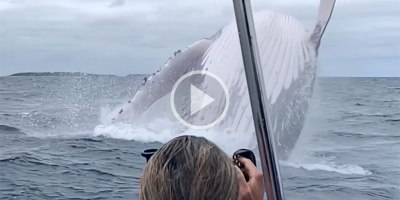 Amazing Slow Mo Close-Up of a Mother Humpback Breaching