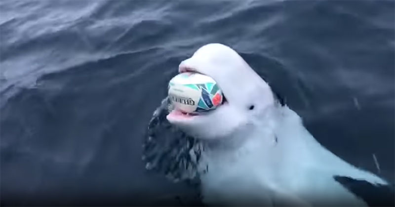 Beluga Whale Near South Pole Plays Fetch with Rugby Ball