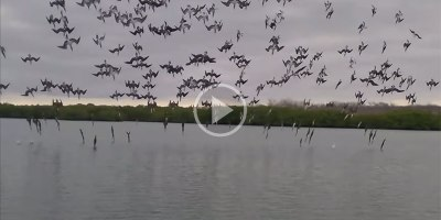 Amazing Coordinated Dive Bombing by a Flock of Blue-FootedBoobies
