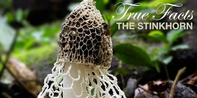 True Facts of the Stinkhorn Mushroom