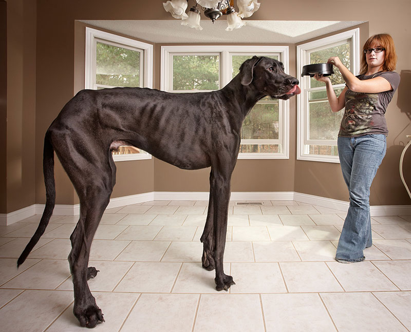 worlds tallest dog ever guinness world records zeus 3 In Memory of Zeus, the Tallest Dog Ever Measured by Guinness