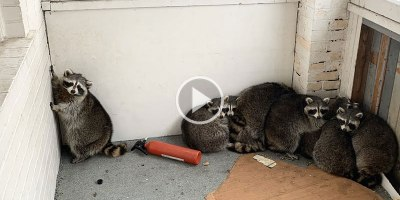 Guy Removes 11 of the Chunkiest Raccoons You Will See From a Porch