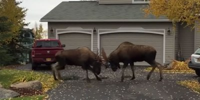 The Full, Original Suburban Moose Fight Without the Obnoxious Commentary