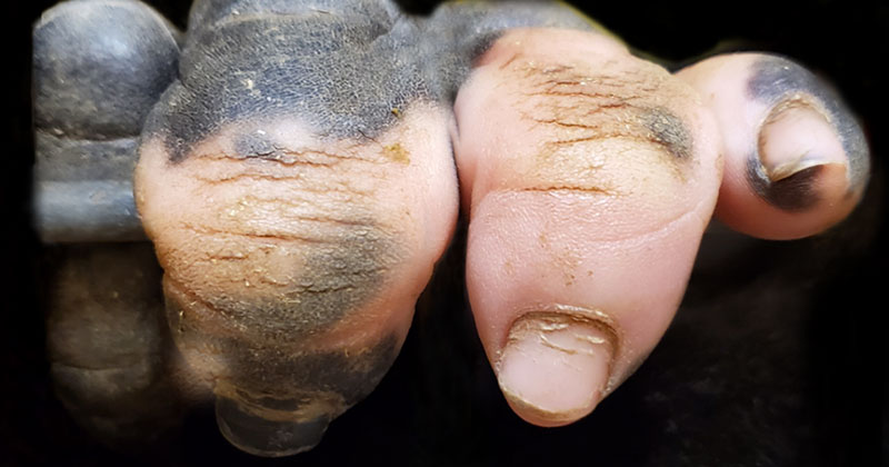 Amazing Closeup of a Gorilla's Hand with Vitiligo