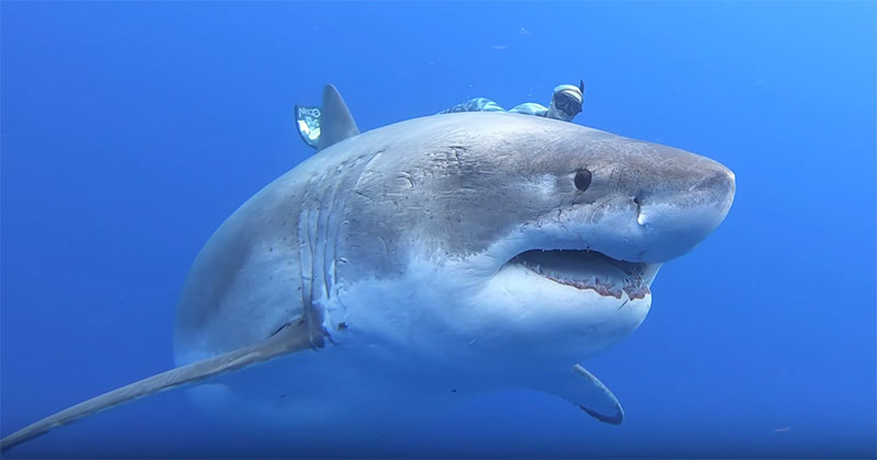This is Probably the Closest Most of Us Will Get to Swimming with Great Whites