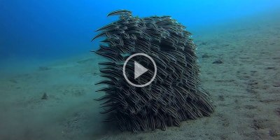 Juvenile Striped Eel Catfish Moving as One for Protection WhileFeeding