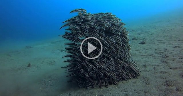 Juvenile Striped Eel Catfish Moving as One for Protection While Feeding