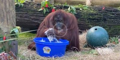 Even Sandra the Orangutan is Washing HerHands