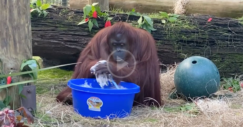 Even Sandra the Orangutan is Washing Her Hands