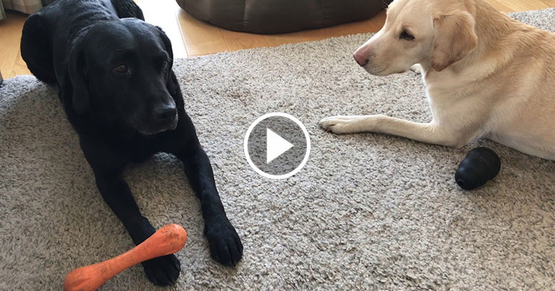 A BBC Sports Broadcaster is Now Calling Games Between His Dogs and It's Amazing