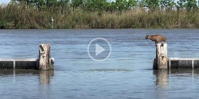Bobcat Makes Huge Jump Over Water LookEffortless