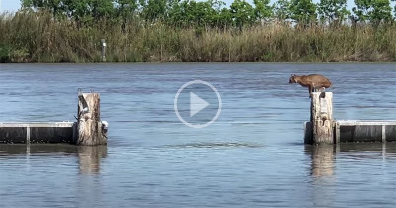 Bobcat Makes Huge Jump Over Water Look Effortless