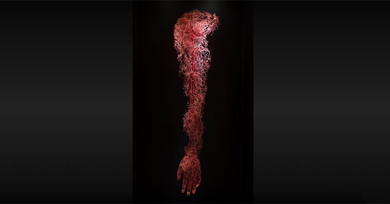 The Circulatory System of a Human Arm