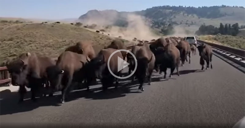 Drivers in Yellowstone Get Caught in Middle of Bison Stampede
