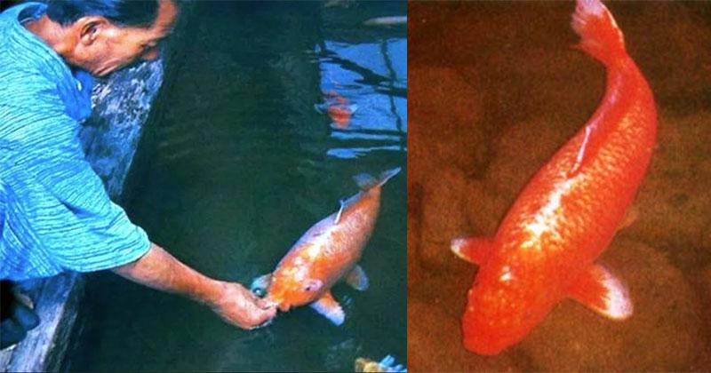 This Amazing Koi Fish was 226 Years Old