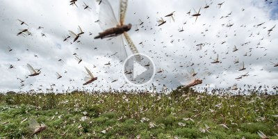 A 5-Minute Overview on Locust Swarms and Their Impact on East Africa