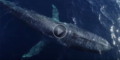 This Aerial Drone Footage of Blue Whales from Above is Astonishing
