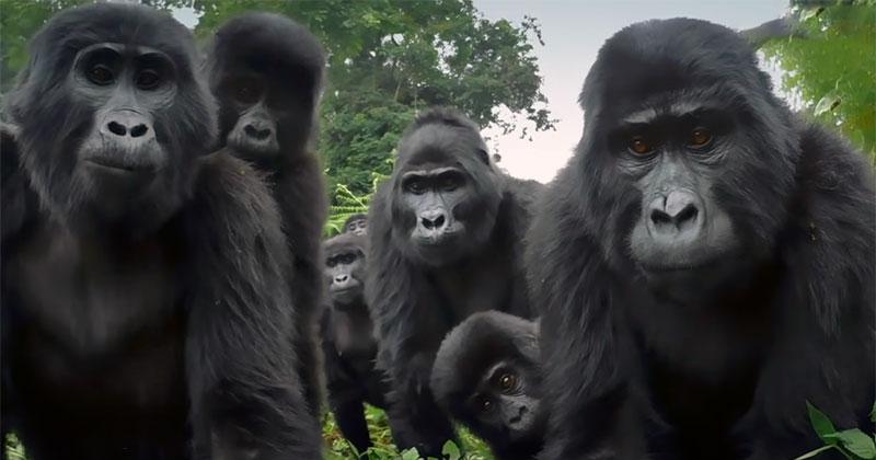 A Robot Spy Gorilla's Incredible Encounter with an Actual GorillaTroop