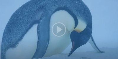 BBC Crew Rescue Trapped Penguins in UnprecedentedMove