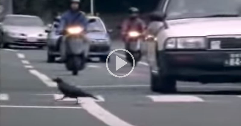 This Video of a Wild Crow Using the Urban Landscape to Its Advantage is Incredible