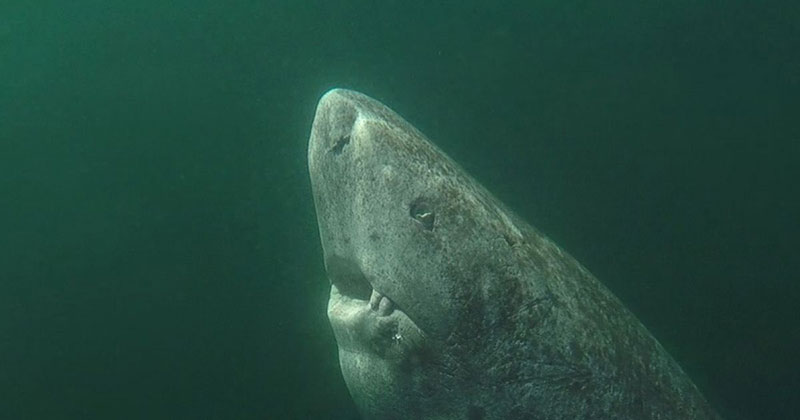 This Greenland Shark is the Oldest Living Vertebrate Known on the Planet