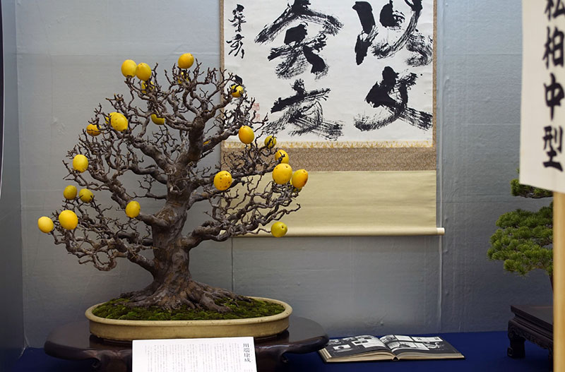 bonsai trees with fruit 10 Bonsai Fruit Trees are a Thing and Theyre Pretty Adorable (11 Photos)