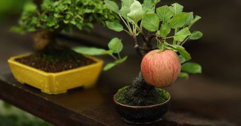 Bonsai Fruit Trees are a Thing and They're Pretty Adorable (11 Photos)