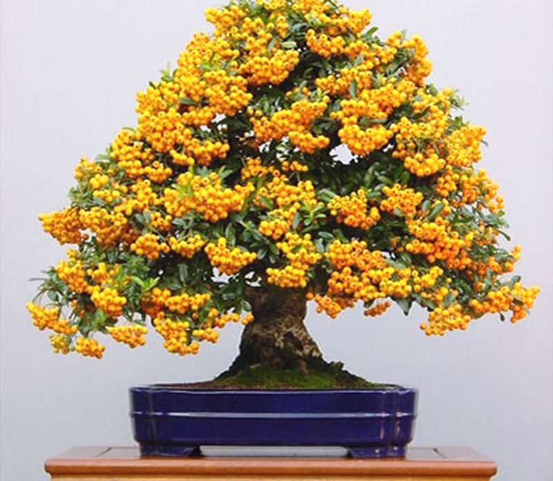 bonsai trees with fruit 3 Bonsai Fruit Trees are a Thing and Theyre Pretty Adorable (11 Photos)