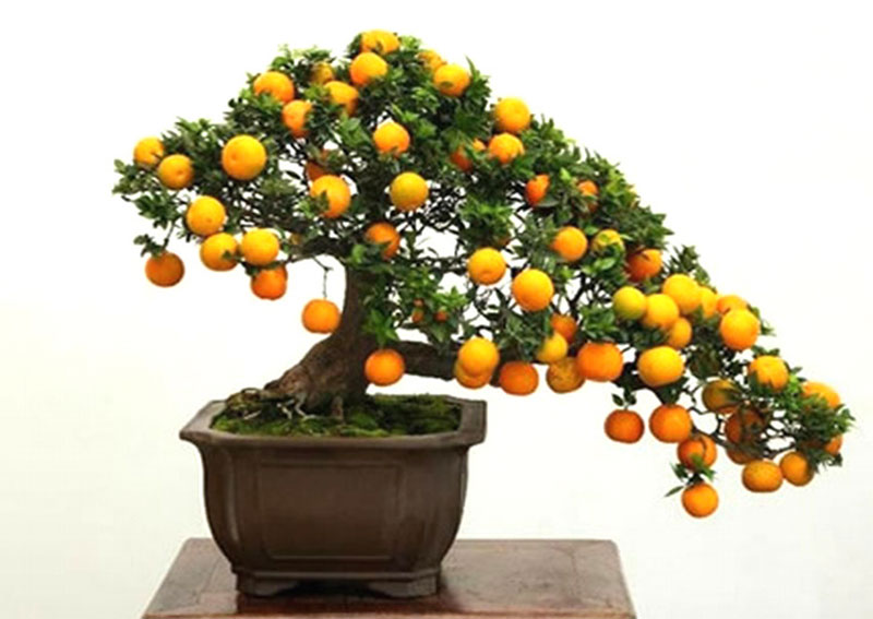 bonsai trees with fruit 4 Bonsai Fruit Trees are a Thing and Theyre Pretty Adorable (11 Photos)