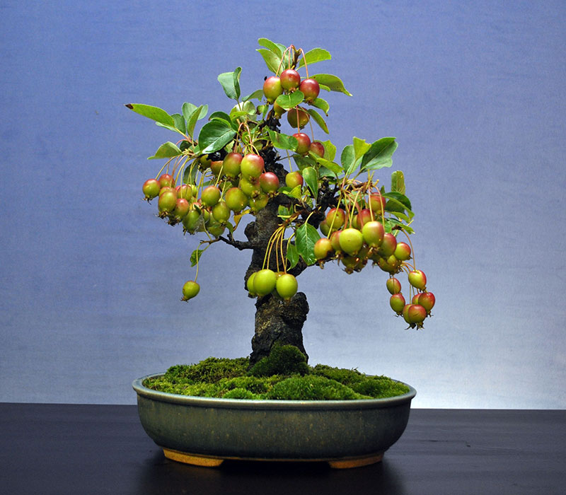 bonsai trees with fruit 9 Bonsai Fruit Trees are a Thing and Theyre Pretty Adorable (11 Photos)