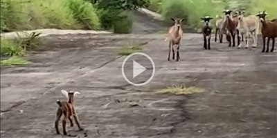 This Story of a Lost Baby Goat Reuniting with its Mom is the SweetestThing
