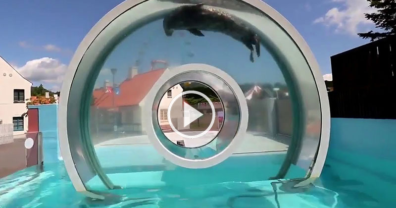 Just a Seal Doing a Loop-the-Loop