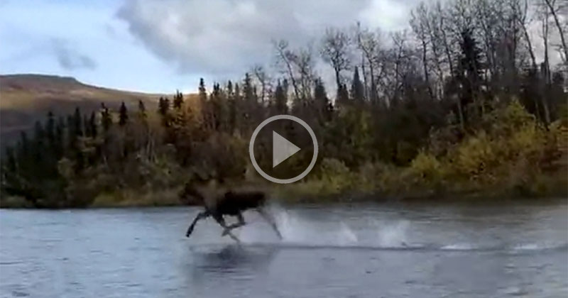 This Video of a Moose Running Across a River is Crazy and People are Calling Him the Moosiah