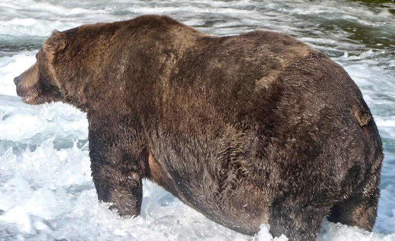 fat bear week 2020 champion 747 1 After 500,000 Votes, Bear 747 Crowned 2020 Champion of Fat Bear Week